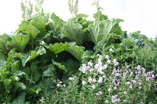 Rhubarbwestray